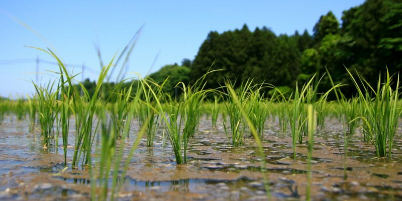 A microbe found in rice fields is helping to convert methane gas into biofuels. Image- Yamanaka Tamaki via Flickr