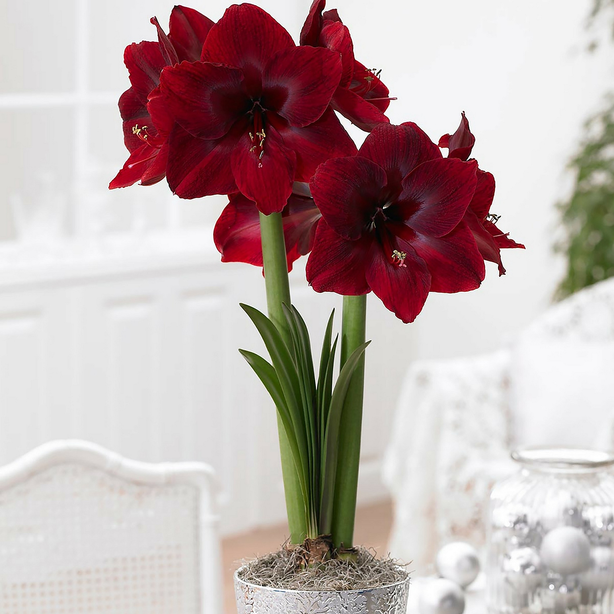 Amaryllis Red Pearl photocredit Longfield Gardens
