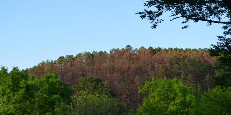 Tracts of dead pines in northeastern Oklahoma forests hit hard by beetle infestation.